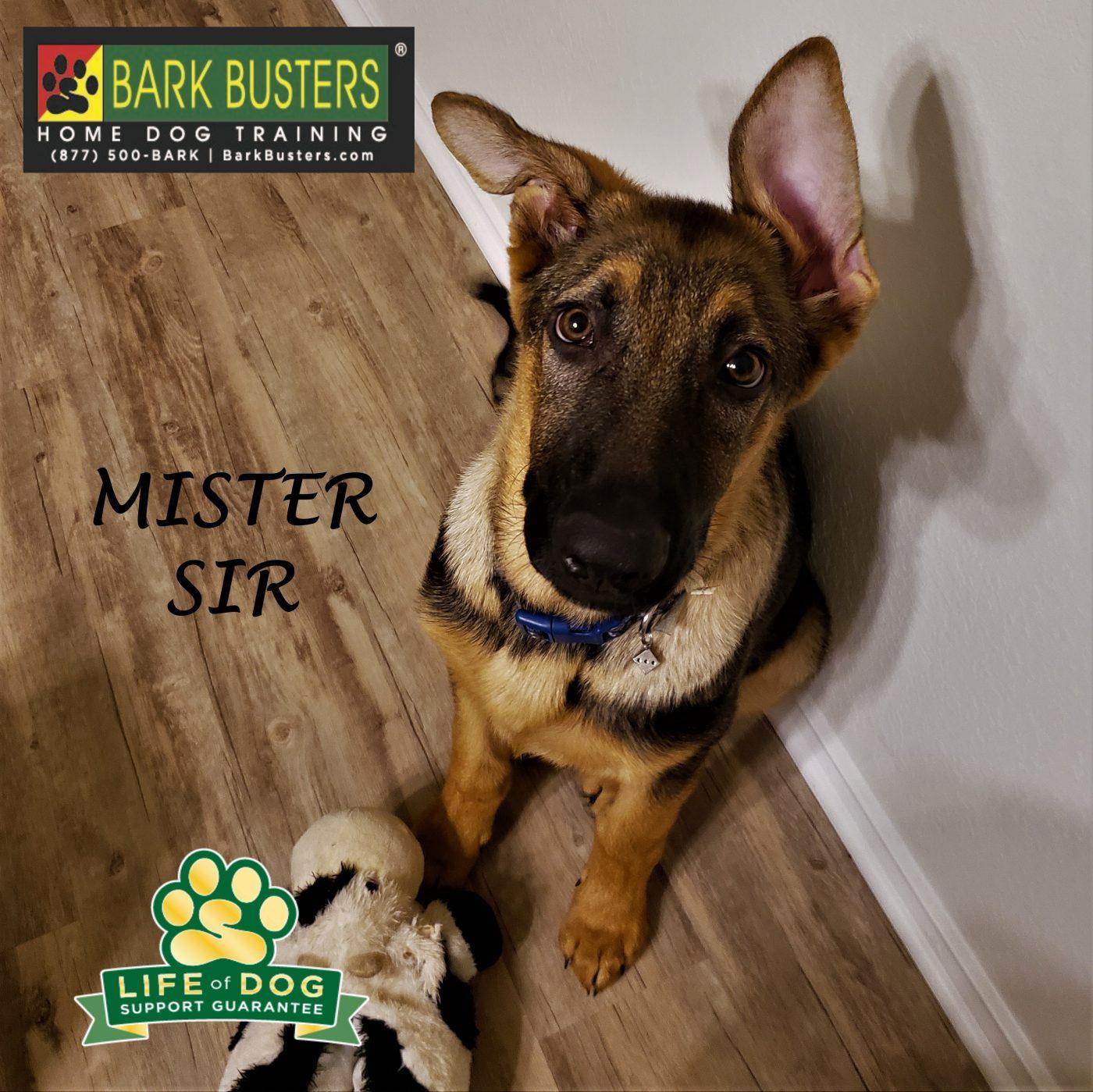 #germanshepherd #germanshepherdpuppy #puppytraining #dogtrainingjarrell #dogtrainernearme #barkbusters #speakdogchangeyourlife #inhomedogtraining