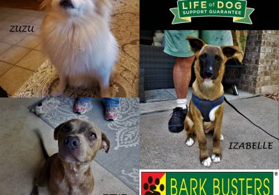 #pomeranian #pitbull #belgianmalinois #puppytraining #siblingrivalry #obediencetraining #dogtrainingaustin #dogtrainernearme #barkbusters #inhomedogtraining