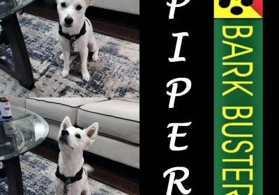 #chihuahuaaussiemix #obediencetraining #leashtraining #dogtraininggeorgetown #dogtrainernearme #barkbusters #inhomedogtraining
