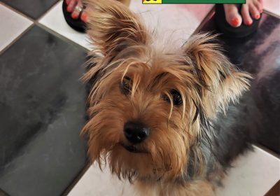 #yorkshireterrier #puppytraining #dogtrainingroundrock #dogtrainingnearme #barkbusters #speakdogchangeyourlife #inhomedogtraining