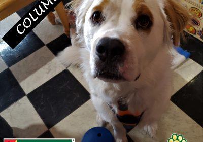 #stbernardmix #rescuedog #gamechangerdogtoy #leashtraining #dogtrainingtemple #dogtrainernearme #barkbusters #speakdogchangeyourlife
