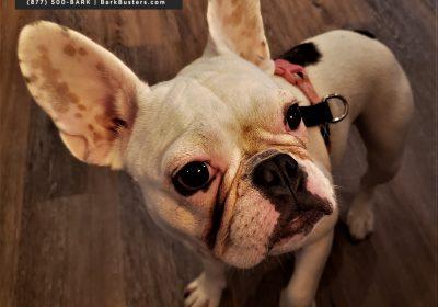 #frenchbulldog #toilettraining #obediencetraining #stairsarescary #dogtraininghutto #dogtrainingnearme #barkbusters